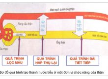 trình bày quá trình tạo thành nước tiểu ở các đơn vị chức năng của thận